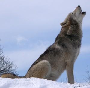 Howlsnow WIKI wolf