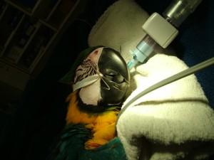 Macaw beak 016