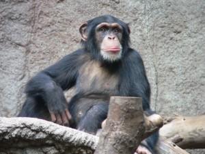Schimpanse_zoo-leipig