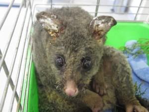 A bushfire victim.