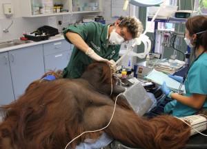 Taronga Vet Frances checks the teeth of Jantan the orangutan