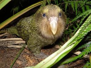 Kakapo Auckland Zoo